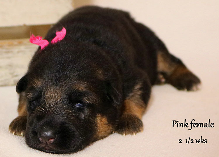 Solo x Flickr - 2 and Half Weeks Pink Collar Female