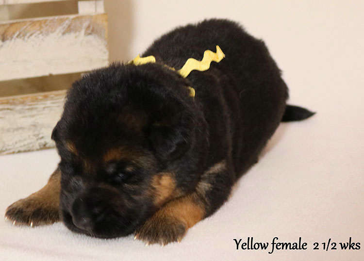 Solo x Flickr - 2 and Half Weeks Yellow Collar Female 2