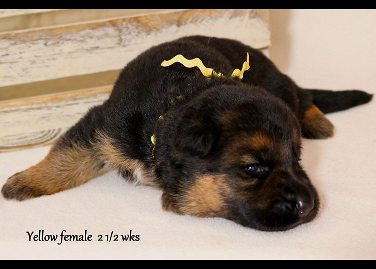 Solo x Flickr - 2 and Half Weeks Yellow Collar Female