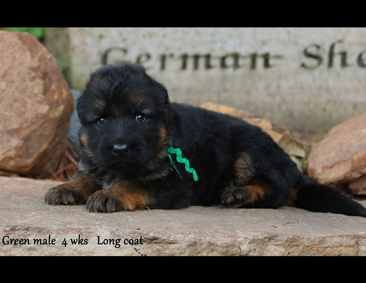 Solo x Flickr - 4 Weeks Green Collar Male