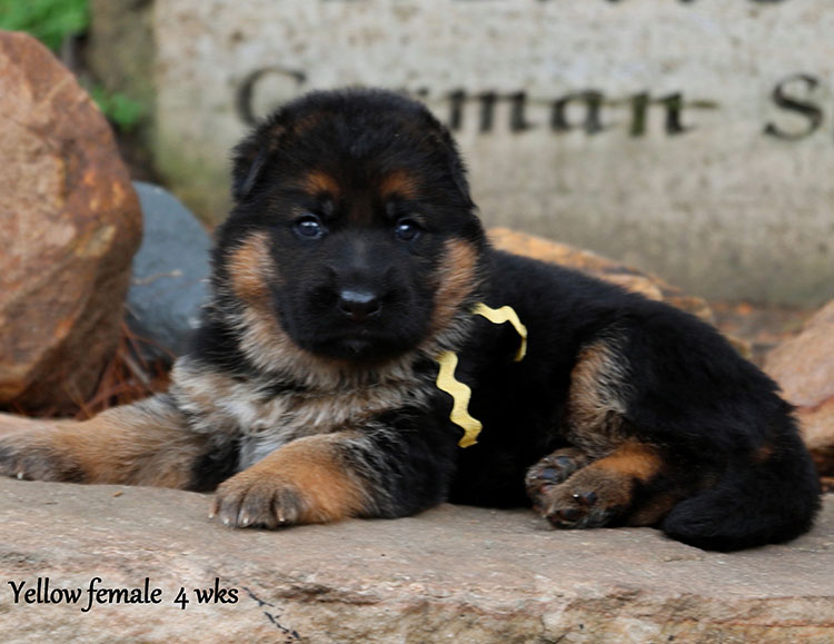 Solo x Flickr - 4 Weeks Yellow Collar Female