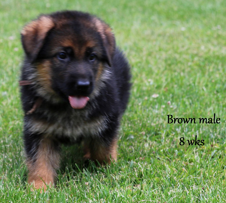 Solo x Xarla - 8 Weeks Brown Collar Male 2