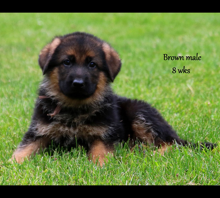 Solo x Xarla - 8 Weeks Brown Collar Male 3