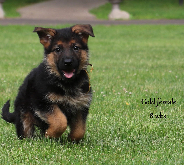 Solo x Xarla - 8 Weeks Gold Collar Female