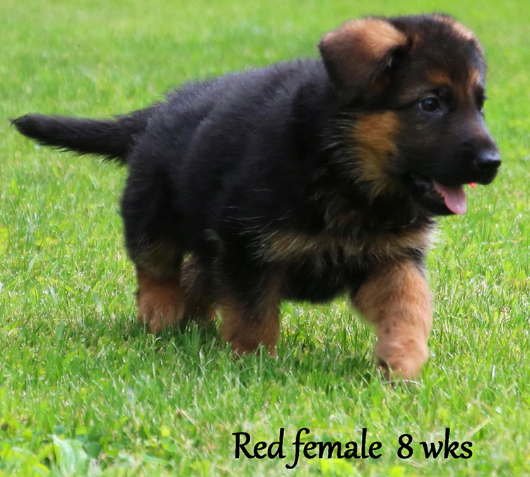 Solo x Xarla - 8 Weeks Red Collar Female 2
