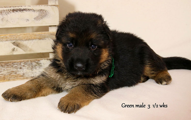 Urex x Ivanka - 3 and Half Weeks Green Collar Male