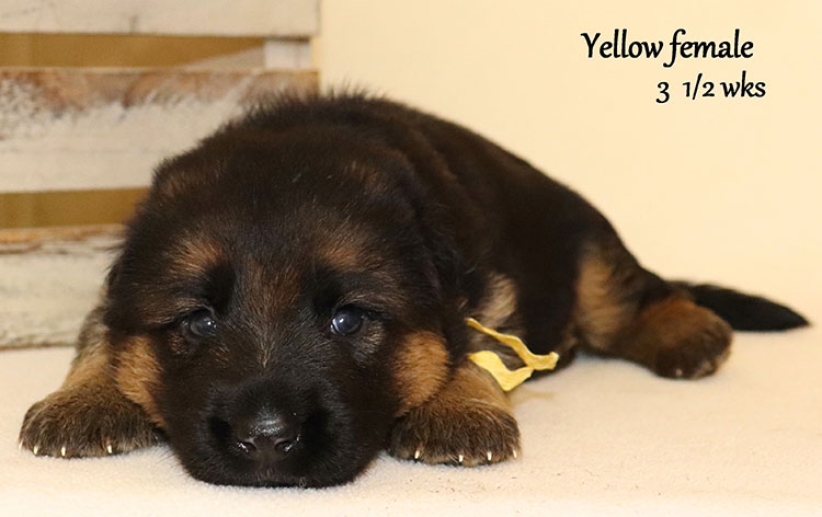 Urex x Ivanka - 3 and Half Weeks Yellow Collar Female 2