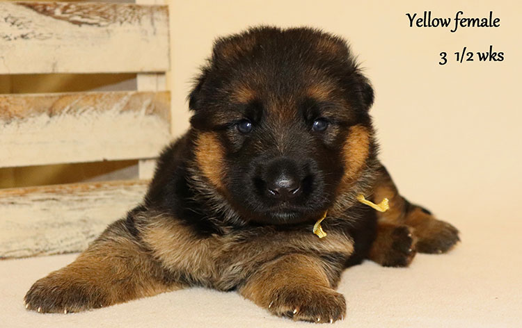 Urex x Ivanka - 3 and Half Weeks Yellow Collar Female