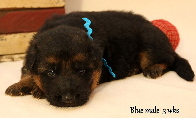 Figo x Bing - 3 Weeks Blue Collar Male