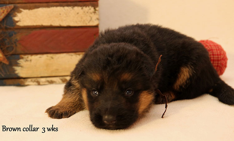 Figo x Bing - 3 Weeks Brown Collar Male