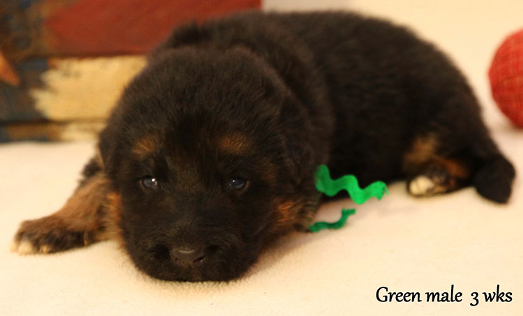 Figo x Bing - 3 Weeks Green Collar Male