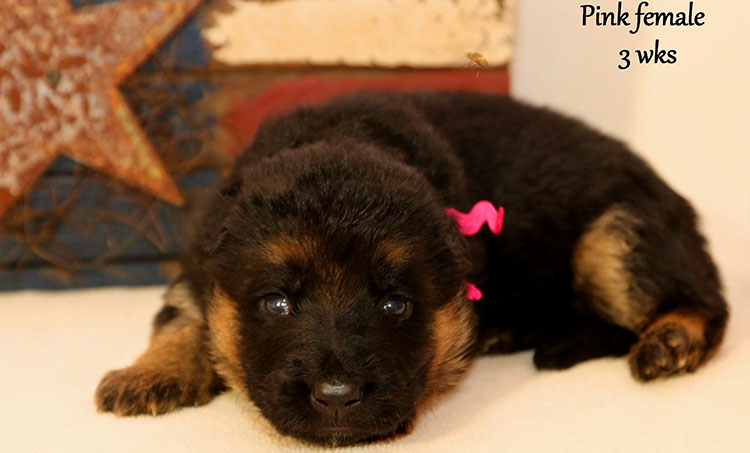 Figo x Bing - 3 Weeks Pink Collar Female