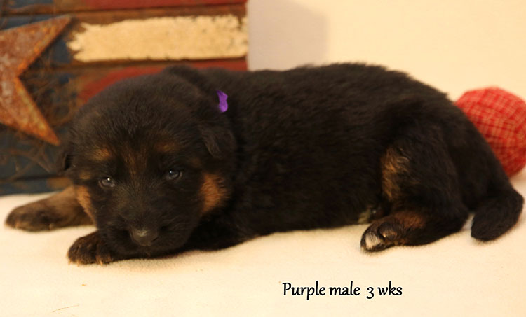 Figo x Bing - 3 Weeks Purple Collar Male