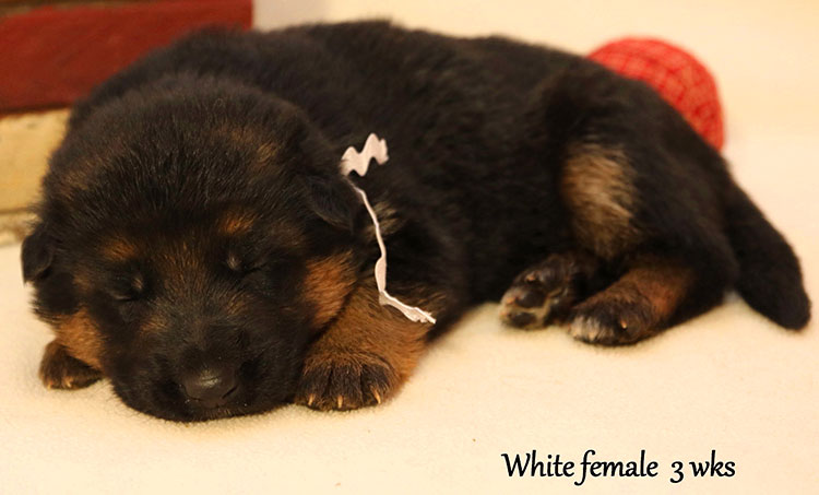 Figo x Bing - 3 Weeks White Collar Female