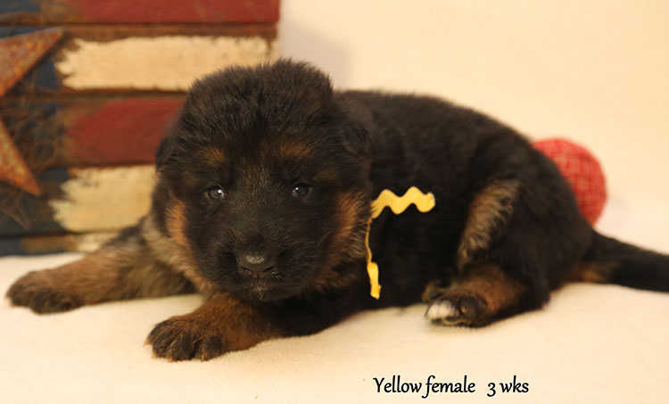 Figo x Bing - 3 Weeks Yellow Collar Female