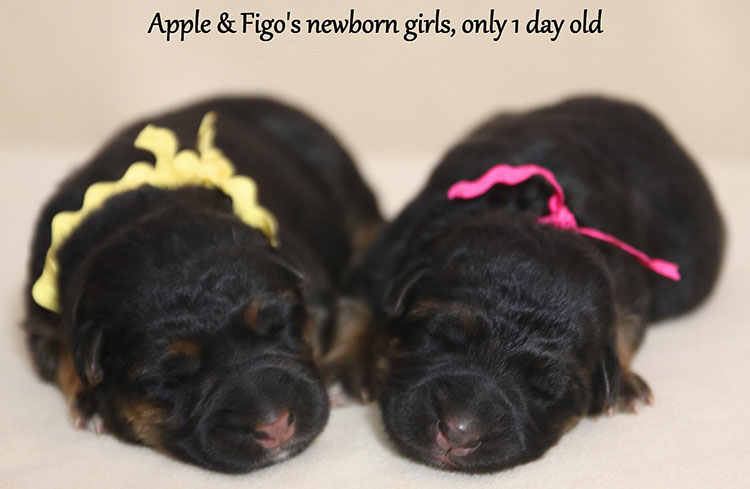 Figo x Apple - Newborn Female