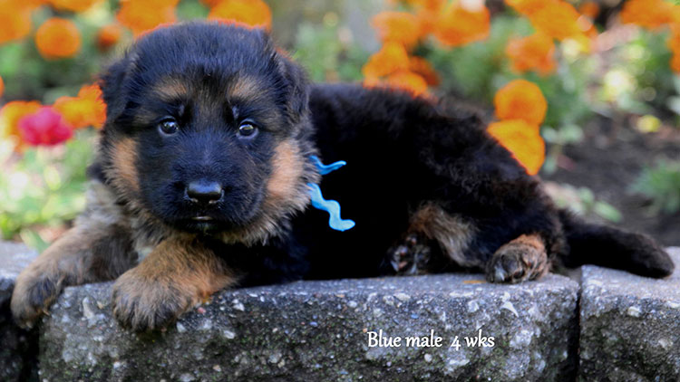 Figo x Bing - 4 Weeks Blue Collar Male