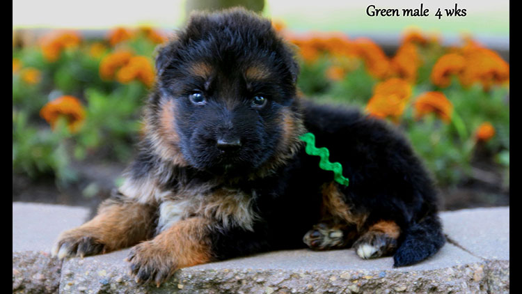 Figo x Bing - 4 Weeks Green Collar Male