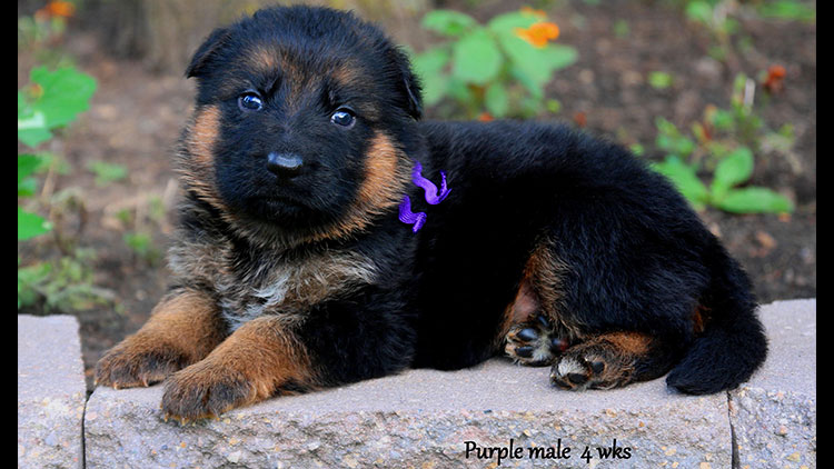Figo x Bing - 4 Weeks Purple Collar Male