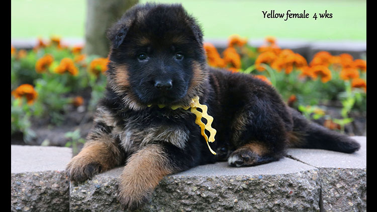 Figo x Bing - 4 Weeks Yellow Collar Female