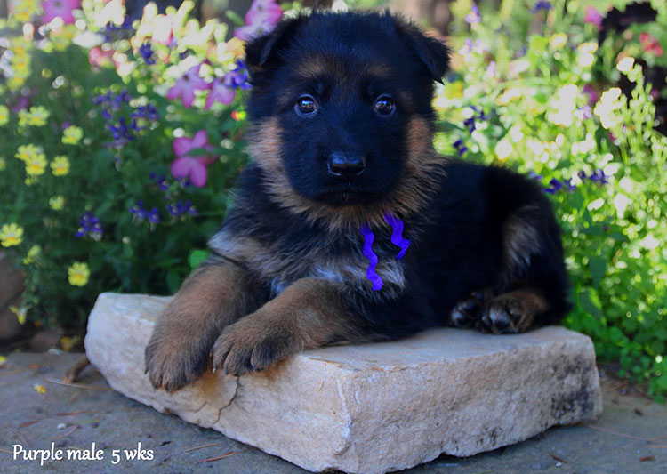 Figo x Bing - 5 Weeks Purple Collar Male
