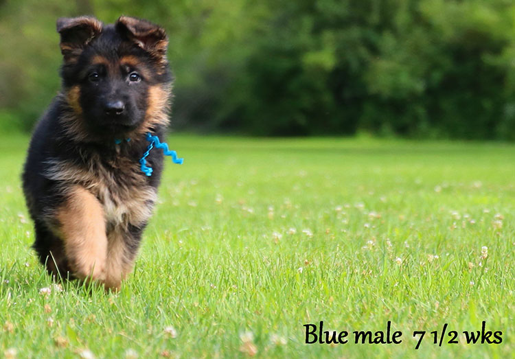 Figo x Bing - 7 & 1/2 Week Blue Collar Male