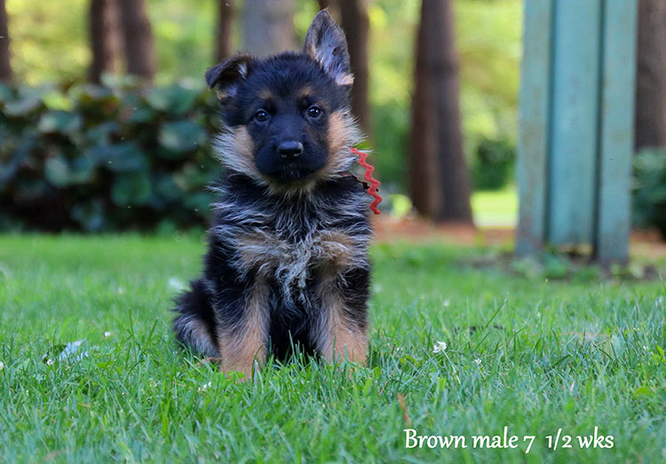 Figo x Bing - 7 & 1/2 Week Brown Collar Male