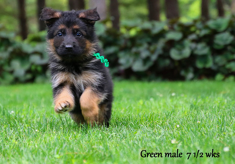 Figo x Bing - 7 & 1/2 Week Green Collar Male