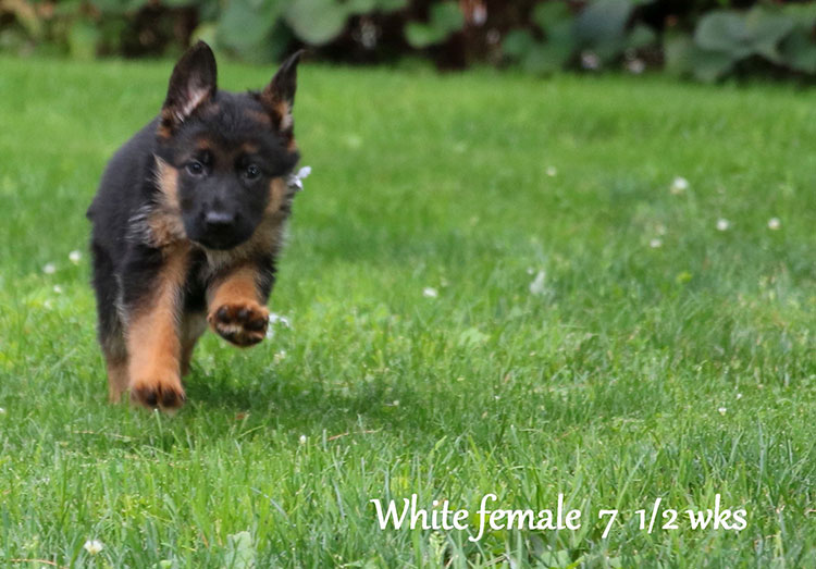 Figo x Bing - 7 & 1/2 Week White Collar Female