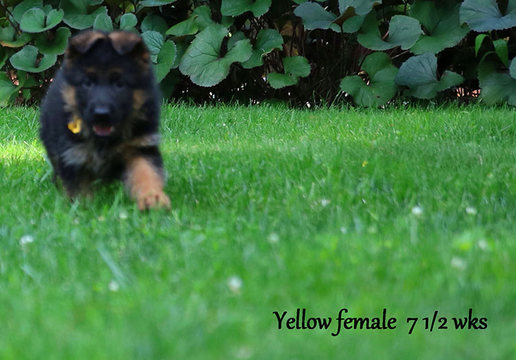 Figo x Bing - 7 & 1/2 Week Yellow Collar Female