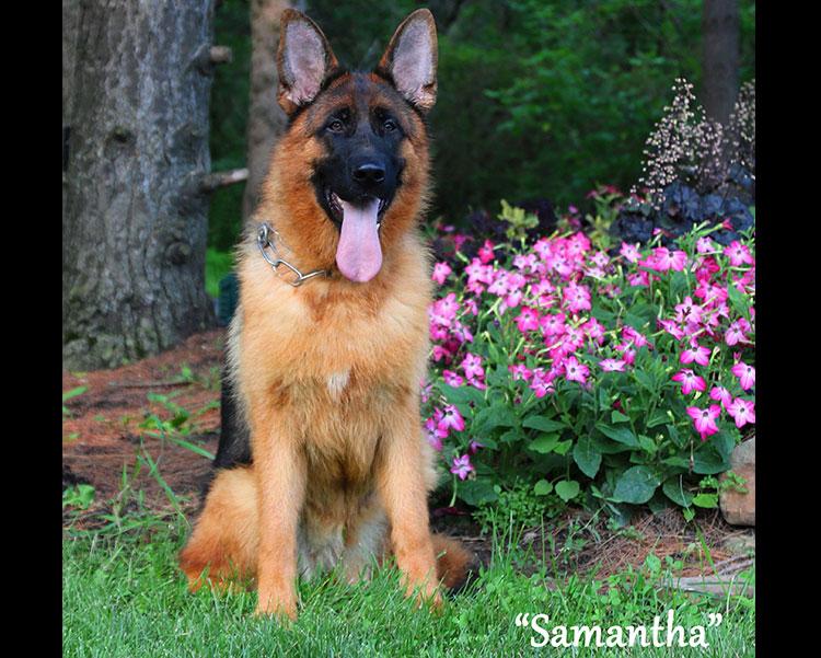 Mittelwest Adult Female German Shepherd For Sale - Samantha vom Mittelwest