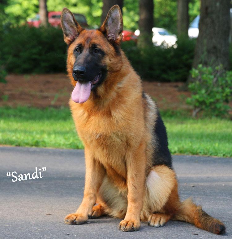 Mittelwest Adult Female German Shepherd For Sale - Sandi vom Mittelwest