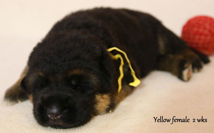 Solo x Colorado - 2 Weeks Yellow Collar Female