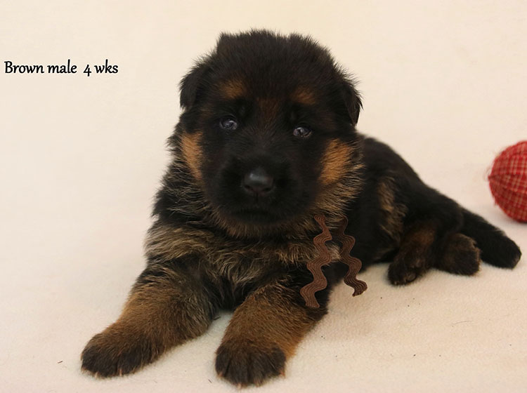 Solo x Kona - 4 Weeks Brown Collar Male