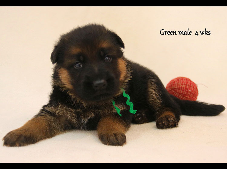 Solo x Kona - 4 Weeks Green Collar Male