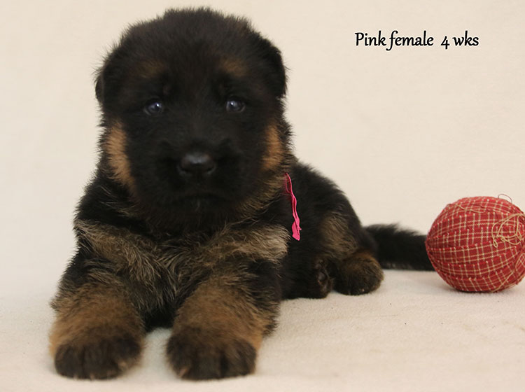 Solo x Kona - 4 Weeks Pink Collar Female