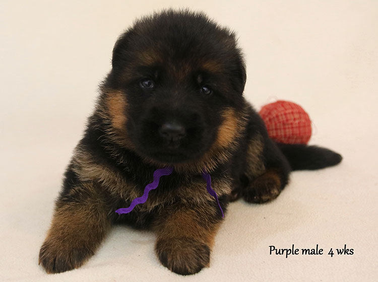 Solo x Kona - 4 Weeks Purple Collar Male