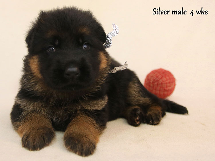 Solo x Kona - 4 Weeks Silver Collar Male