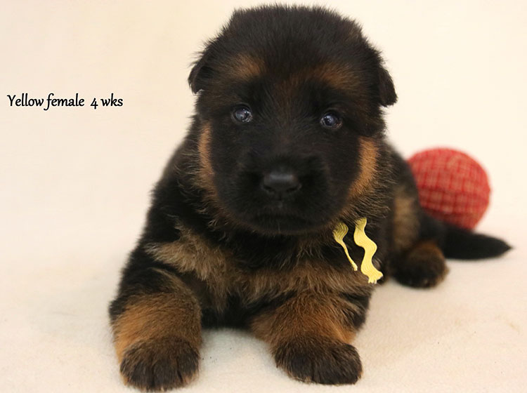 Solo x Kona - 4 Weeks Yellow Collar Female