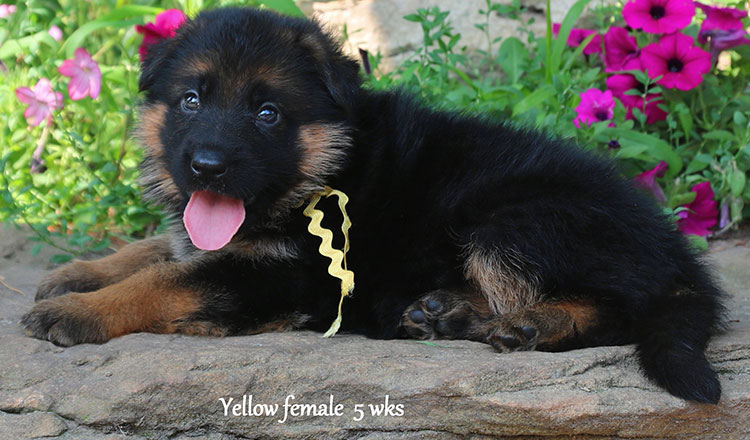 Solo x Kona - 5 Weeks Yellow Collar Female