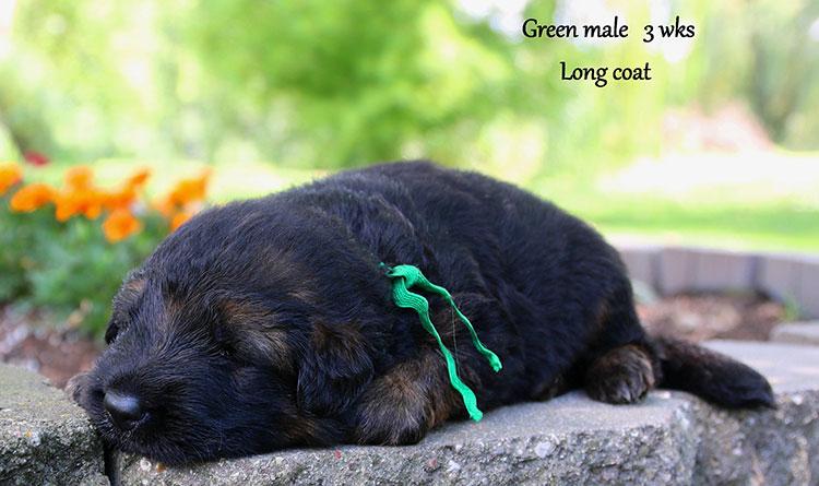 Solo x Ohio - 3 Weeks Green Collar Male