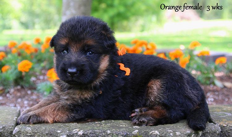 Solo x Ohio - 3 Weeks Orange Collar Female