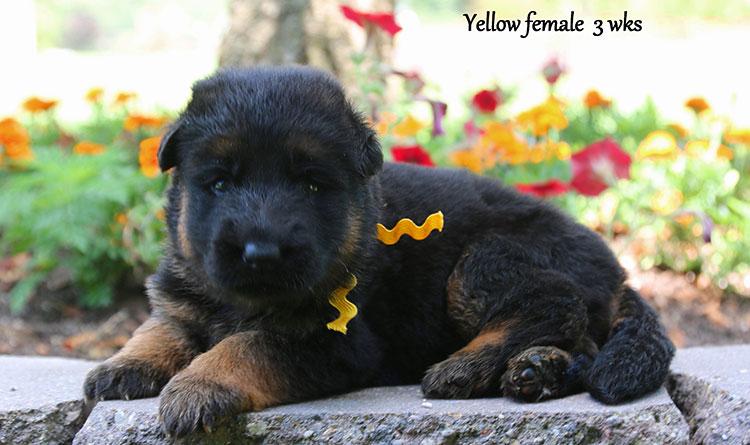 Solo x Ohio - 3 Weeks Yellow Collar Female