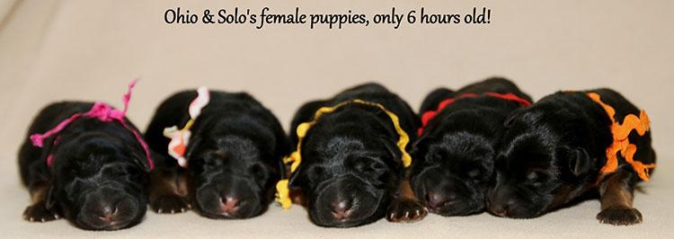 Solo x Ohio - Newborn Females
