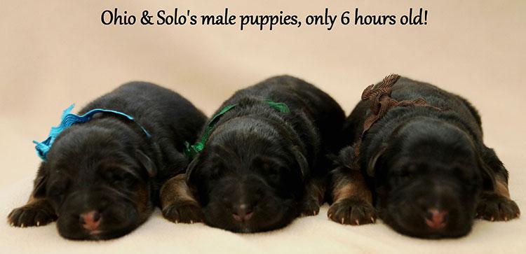 Solo x Ohio - Newborn Males