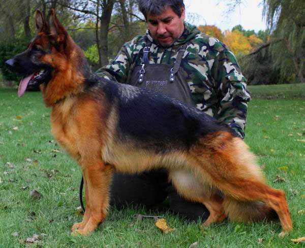 Adult Female German Shepherd For Sale - Nashville vom Mittelwest
