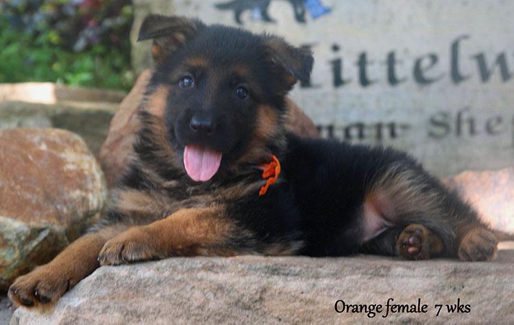 Solo x Ohio - 7 Weeks Orange Collar Female