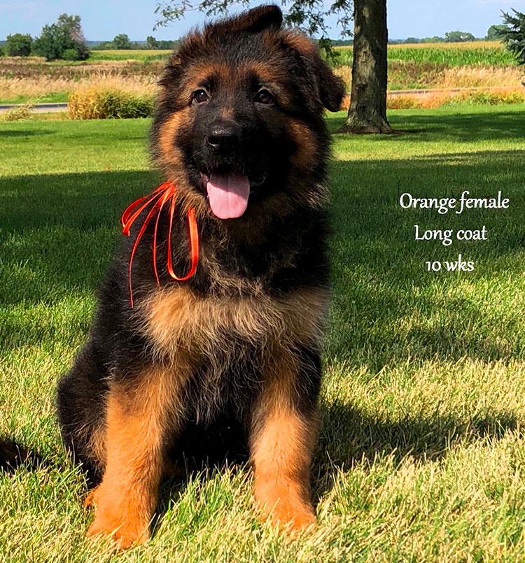 Solo x Salina - 10 Weeks Orange Collar Female