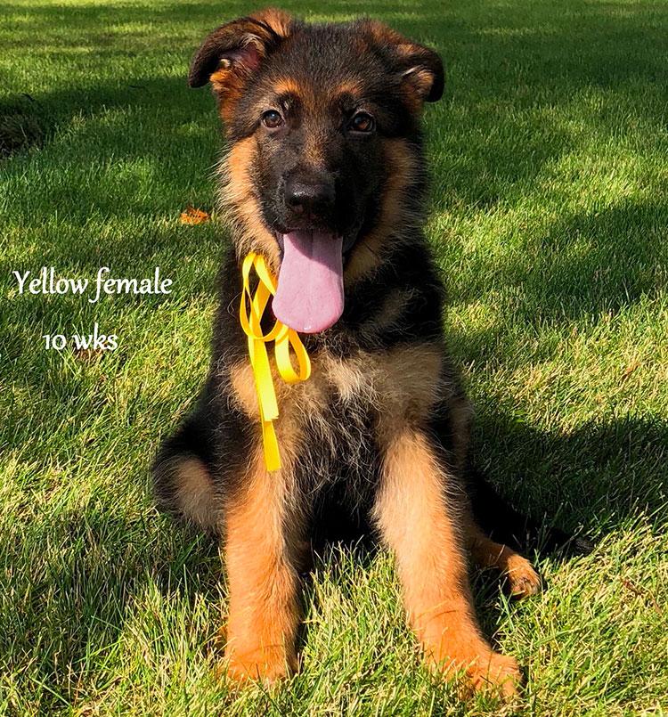 Solo x Salina - 10 Weeks Yellow Collar Female