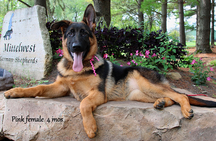 Solo x Twitter - 4 Months Pink Collar Female
